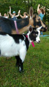 Goat Yoga @ Smiling Hill Farm | Westbrook | Maine | United States