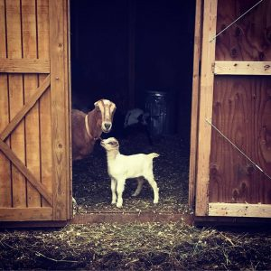 Goat Yoga Adventure @ Lone Spruce Farm | Dedham | Maine | United States