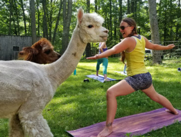 Woman in yoga warrior pose with alpaca in front of her