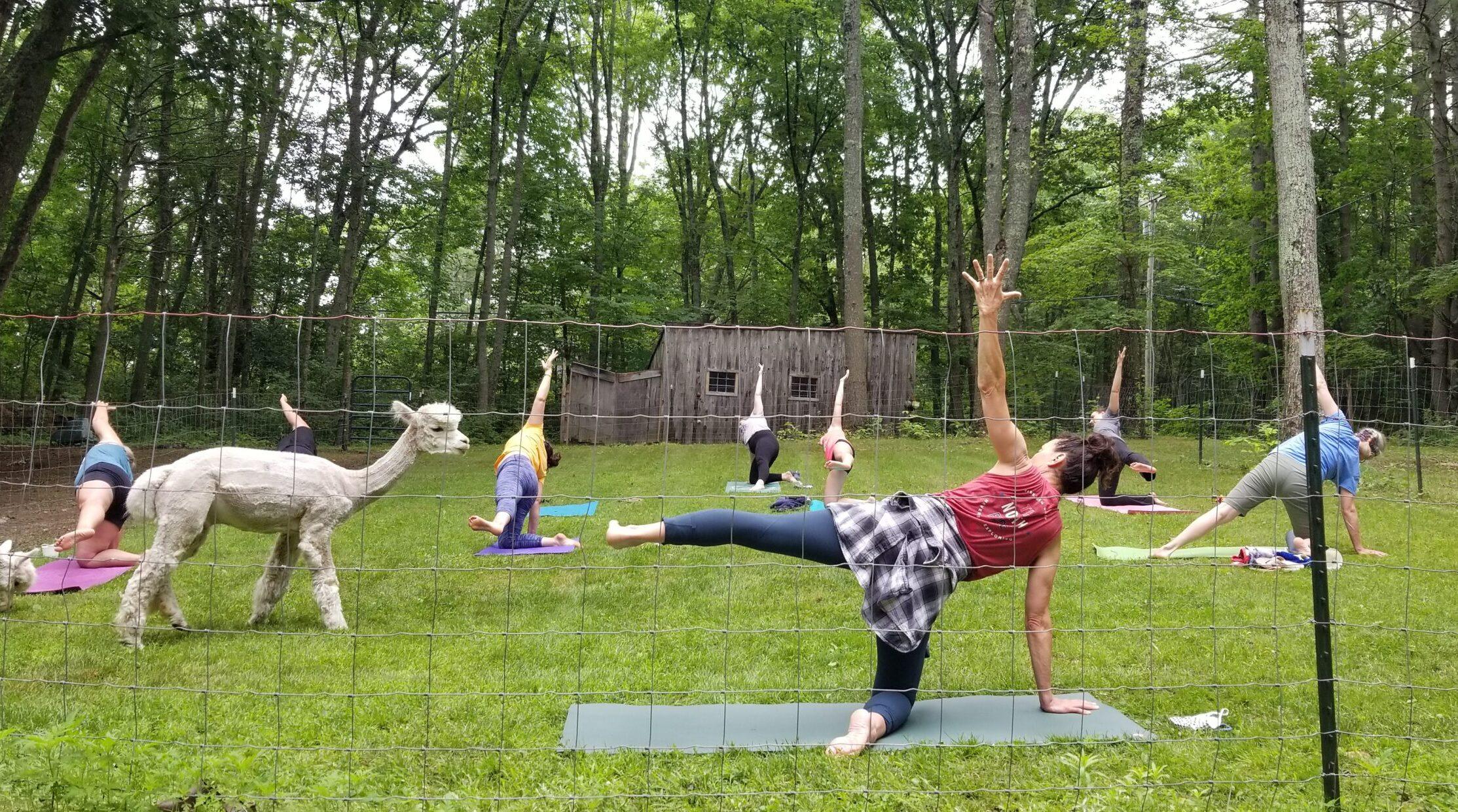 Yoga with the alpacas: Head to Westport Island for a class in the grass at Lulu's Barn – via Portland Phoenix